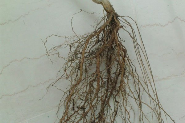 The development of 4 strong radicle or pen roots is clearly visible