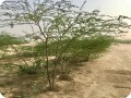 10 Ghaf tree  Prosopis cineraria  2 and half years old in Kuwait Desert for Kuwait Great Green Wall planted with the Groasis Technology v2