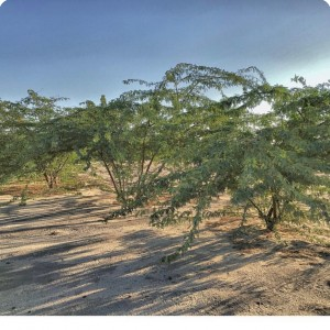 12 Ghaf tree  Prosopis cineraria  3 years old in Kuwait Desert for Kuwait Great Green Wall planted with the Groasis Technology