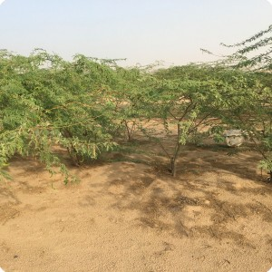 13 Ghaf tree  Prosopis cineraria  3 years old in Kuwait Desert for Kuwait Great Green Wall planted with the Groasis Technology v2