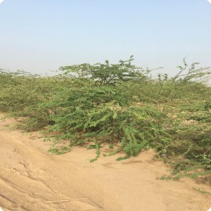 14 Ghaf tree  Prosopis cineraria  3 years old in Kuwait Desert for Kuwait Great Green Wall planted with the Groasis Technology v2