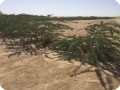 15 Ghaf tree  Prosopis cineraria  3 years old in Kuwait Desert for Kuwait Great Green Wall planted with the Groasis Technology