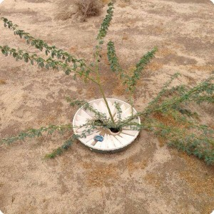 4 Ghaf tree  Prosopis cineraria  in Kuwait planted 2015 with Groasis Waterboxx