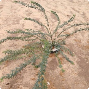 5 Ghaf tree  Prosopis cineraria  in Kuwait one year after planting