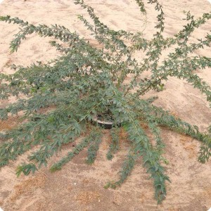 6 Ghaf tree  Prosopis cineraria  in Kuwait planted 2014   after one year