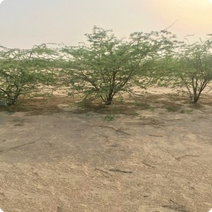 9 Ghaf tree  Prosopis cineraria  two years old in Kuwait Desert planted with the Groasis Technology V2