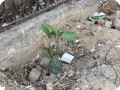 10 Growboxx plant cocoon in Gurgeon India along street planted in garbage dump