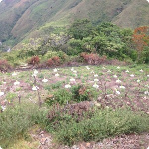 26. 20180410 More trees have been planted on this field in Hato Vito  Colombia