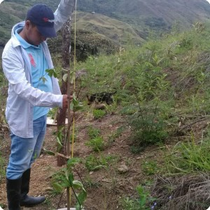 30. 20180425 Measurement of maracuya in Gonzalo s property