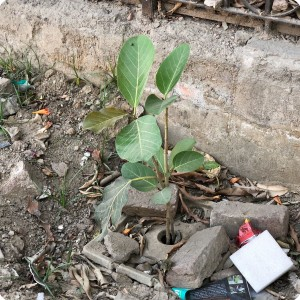 9 Growboxx plant cocoon in Gurgeon India along street planted in garbage dump