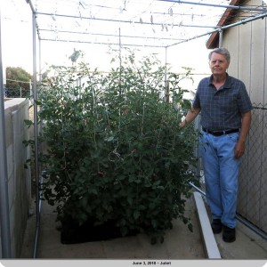 12. Mr Bill McNeese next to the Juliet tomato plant on June 3
