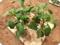 18 Growboxx plant cocoon in Ensenada Mexico with yellow pepper  chile guero  June 15 2018