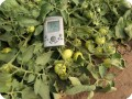 22 Growboxx plant cocoon in Ensenada Mexico with  tomatoes and thermometer  33.4 degrees Celsius