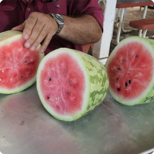 49 August 10   The first water melon ever produced on a Growboxx plant cocoon in combination with a lemon tree