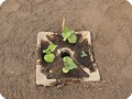 5 Growboxx plant cocoon in Ensenada Mexico with water melon April 24 2018