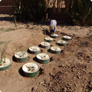 Groasis waterboxx planted in Wadi nr 5 in Oct 2017