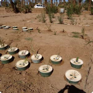 Groasis waterboxx planting in Wadi nr 4 and 5 in Oct 2017  2