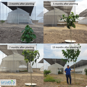 Gmelina Arborea in Ecuador with the water saving waterboxx plant cocoon