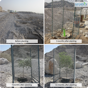 Trees planted with the water saving Waterboxx plant cocoon in the UAE on a rocky surface without the help of irrigation