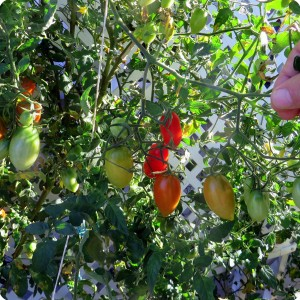 16. 20171123 Juliet is still producing. These tomatoes are ripening on the sunny side of the plant
