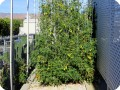 17. 20171123 Juliet tomato plant in the Waterboxx plant cocoon  the plant has already produced 105 lbs  45 kg  of fruit since the first week of june