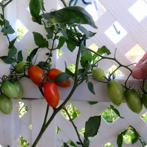 18. 20171123 Juliet tomatoes grew through the lattice and are ripening in the shade