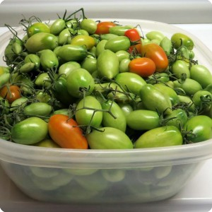 2. 20160206 Several hundreds of Juliet tomatoes Bill had to discard to get the plant ready for his 2nd year of growth. In just two days indoors  some of the greens are ripening