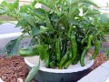 2. Delicious organic peppers are growing in the water saving and sustainable Waterboxx plant cocoon