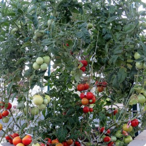 2. The Early Girl tomato plant is growing very well in the Waterboxx plant cocoon