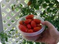 20. 20171219 Almost 650 grams of tomatoes harvested again from the Juliet tomato plant