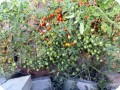 4. 20170711 Sweet Million cherry tomatoes in the Waterboxx pant cocoon. Bill let it sprawl over the side of the wall. Over 30 lbs  13 kg  of fruit so far. The flavour is very agreeable  sweet