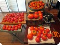 5. Tomatoes from the Early Girl and Stupice combined after harvesting