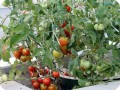 7. Tomatoes on the Stupice tomato plant