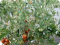 9. Many red tomatoes on the Stupice in Bill s garden  they are growing very good with the help of the Waterboxx plant cocoon