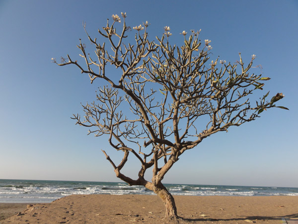 A tree growing beside the sea. Many trees can withstand salt water