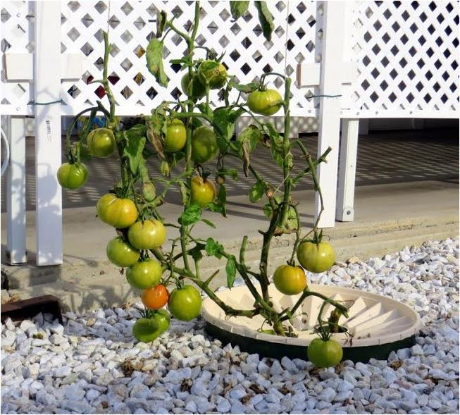 The Groasis Waterboxx with a - damaged by frost - tomato plant