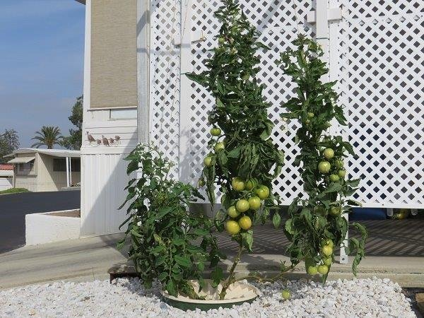 The tomato plants in the Groasis Waterboxx after twelve weeks and 5 days