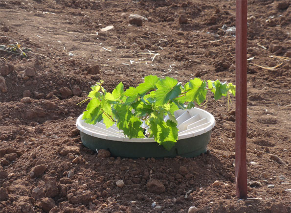 Three months old garpe planted with the Groasis Waterboxx without drip irrigation in Jordan