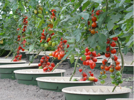 With the Groasis Waterboxx you can grow 50 kilo of tomatoes per plant with less than 20% of the average consumption.