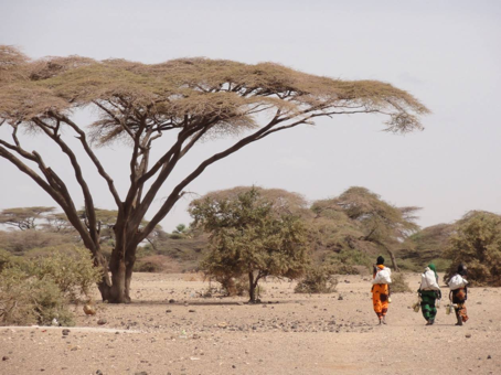 An Acacia tree in northern Kenya. The photo is from 2011, when the summer was extremely hot and dry. The tree itself grows well and is very large
