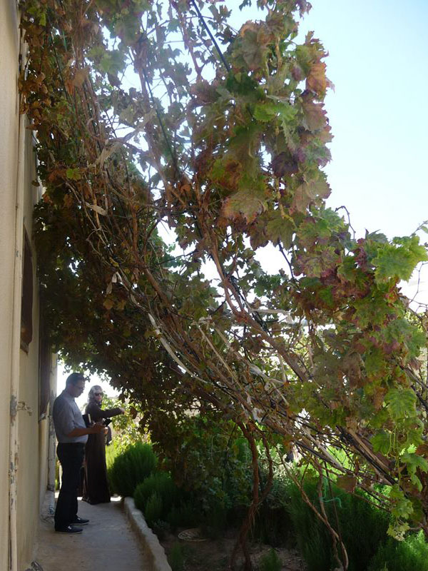 Grapes 2 years after planting with the Waterboxx plant cocoon have grown a couple of meters into the air