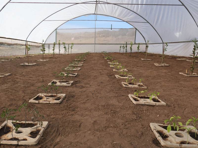 1 Growboxx plant cocoon in Ensenada Mexico planted in a simple plastic tunnel April 24 2018 avg night temp 11 degrees Celsius