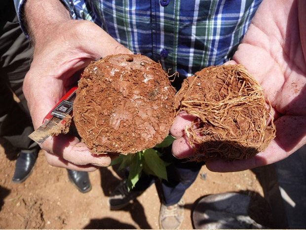 These are the horizontal growing primary roots that you have removed
