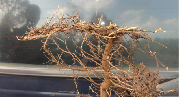 Destroyed, split and horizontal growing primary roots grown in plastic bags