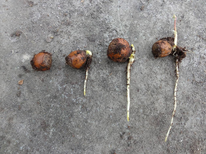 The roots of an acorn in different grow fases