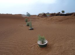 1 Tamarix trees planted with Groasis Technology in Sahara Desert Morocco November 2014
