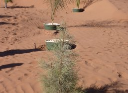 2 Tamarxi trees planted with Groasis Technology  in Sahara Desert Morocco October 2013