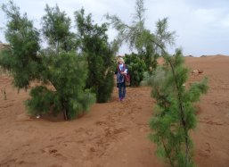 3 Tamarix trees planted with Groasis Technology in Sahara Desert Morocco September 2010