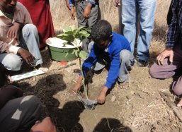 We then plant the Mango tree carefully