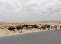 Cattle near drought fastered Wukro Ethiopia